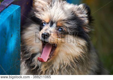 Pomeranian Spitz Puppy In Garden, Close Up Face Portrait. Cute Pomeranian Dog On Walk. Puppy Black,