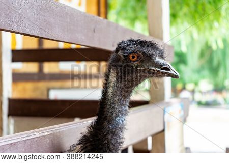 The Head Of An Emu Ostrich Peeks Through The Planks Of A Wooden Fence. Visiting Bird Farms And Zoos.