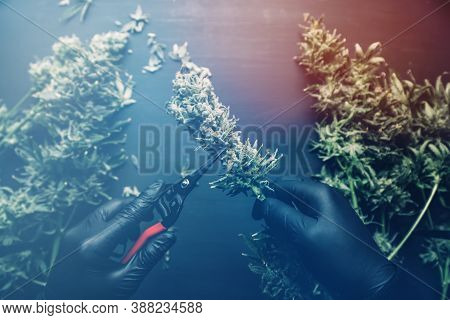 Harvest Weed Time Has Come. Growers Trim Their Pot Buds Before Drying. Trim Before Drying. Mans Hand