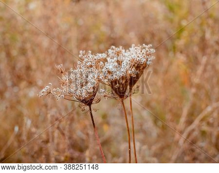 Dried Umbrellas Of Wild Carrot - Daucus Carota With Seeds. Autumn Plant In The Forest. The Foregroun