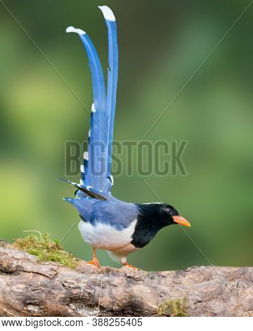 A Gorgeous Red-billed Blue Magpie (urocissa Erythroryncha), Perched On A Tree Branch And With It's T