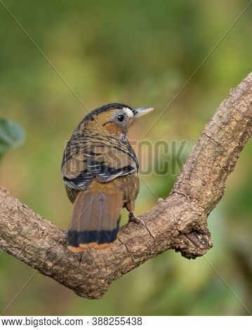 A Beautiful Rufous-chinned Laughingthrush (ianthocincla Rufogularis), Perched On A Tree Branch With