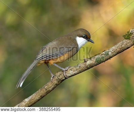 A White-throated Laughingthrush (pterorhinus Albogularis), Perched On A Tree Branch In The Forests O