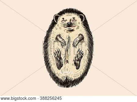 The Hedgehog Lay Down Belly Up.. Spiny Forest Animal. Prickly Creature. Vector Engraved Hand Drawn V