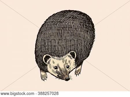 Hedgehog Or Spiny Forest Animal. Prickly Creature. Top View. Vector Engraved Hand Drawn Vintage Sket