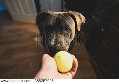 Pitbull Puppy Is Watching And Waiting To Play Fetch With A Tennis Ball
