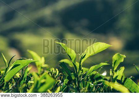Green tea leaves close up. Tea plantations in Munnar, Kerala, India