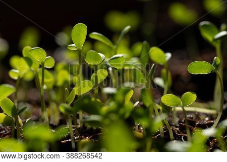 Group Of Young Green Sprouts Growing Out From Soil
