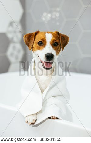 Cute Puppy Jack Russell Terrier With Towel In A Bathroom Waiting For A Bathing.  Portrait Of A Littl