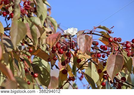 An Abnormal Phenomenon Is Flowers On An Apple Tree With Ripe Mini Apples In October. Chelyabinsk, Ru