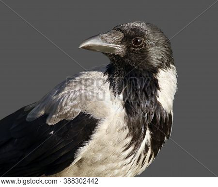Young Hooded Crow (corvus Cornix) Also Called Hoodie Against Dark Grey Background With Space For You