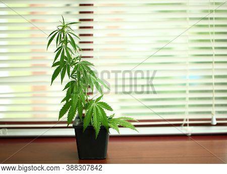 Medical Marijuana Cultivation. Close-up Of The Budding Marijuana Plant In A Pot. Homegrown Cannabis.