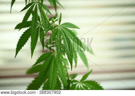 Close-up Of Budding Marijuana Plant In Pot. Homegrown Cannabis