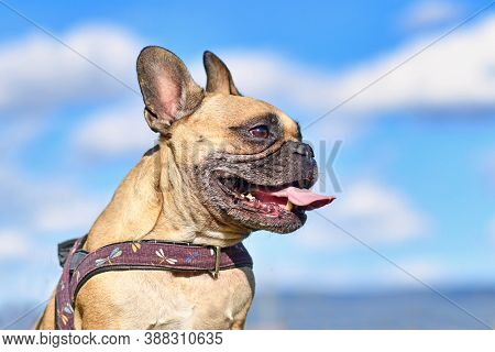 Portrait Of A Smiling Fawn French Bulldog Dog Sticking Out Tongue In Front Of Blue Sky
