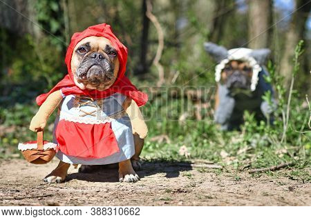 Funny  French Bulldog Dogs Dressed Up With Halloween Costume As Fairytale Character Little Red Ridin