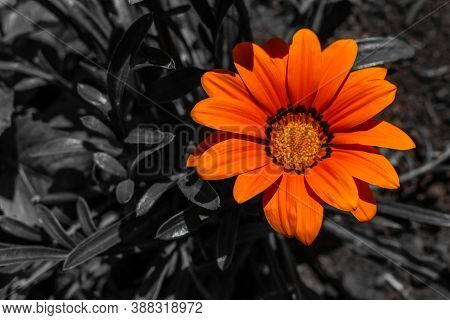 Bright Orange Red Gazania Flower With Yellow Center On  Black And White Background, Summer Garden