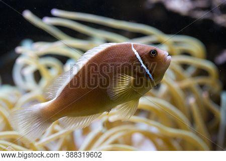The Pink Anemonefish (amphiprion Perideraion) In Aquarium.