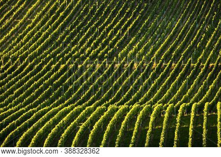 Vineyard at sunset time, rolling hills covered with vineyards in warm evening sunlight
