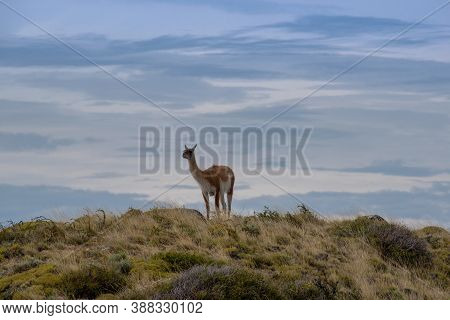 Guanaco On A Hill Near Puerto Natales, Patagonia, Chile