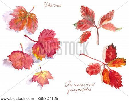 Set Of Autumn Leaves, Watercolor On A White Background, Viburnum And Virginia Creeper Inscriptions I