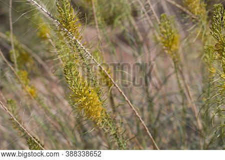 Yellow Raceme Inflorescences Bloom On Princes Plume, Stanleya Pinnata, Brassicaceae, Native Hermaphr