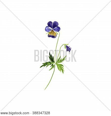 Watercolor Drawing Wild Pansy, Viola Tricolor , Hand Drawn Illustration Of Medicinal Plant