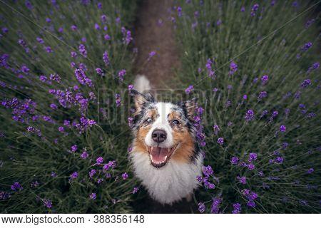 Dog On The Lavender Field. Happy Pet In Flowers. Marble Australian Shepherd. Funny Pet