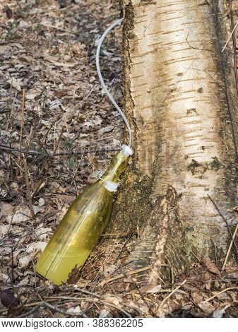 Spring Time In Country Of Latvia. Getting Birch Sap In Forest From Tree Trunk. Juice Dripping In The