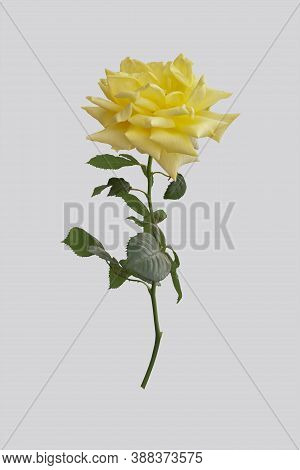 Yellow Rose With Leaves And Branch On An Isolated Background.