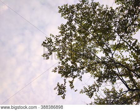 The Green Trees Top In Forest Blue Sky And Sun Beams Shining Through Leaves. Bottom View.