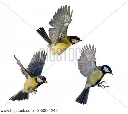 great tits in flight isolated on white background
