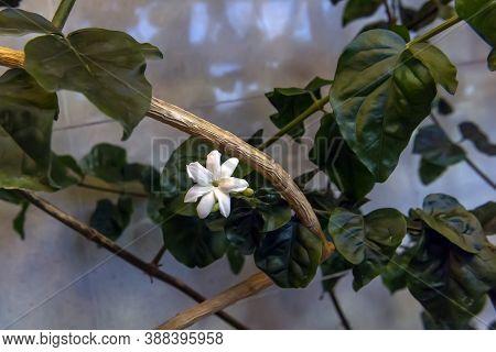 Arabian Jasmine Flower, Mogra Plant Close Up