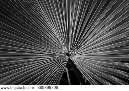 Pattern Of Converging Lines On A Fan Palm In Black And White