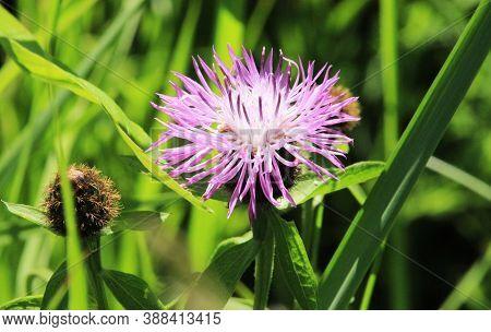 Burdock Thorny Purple Flower, Green Buds And Leaves In Herbal Garden. Blooming Medicinal Plant Burdo