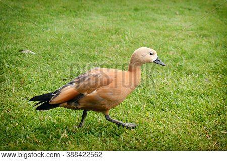 Beige Wild Duck On Green Grass, Close Up. Brown Waterfowl Walks On The Lawn, Background