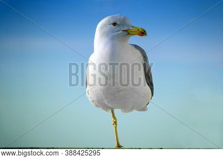 A Large Gull In Close-up Is Standing On One Leg. Seabird In Profile Against The Blue Sky. The Bird L