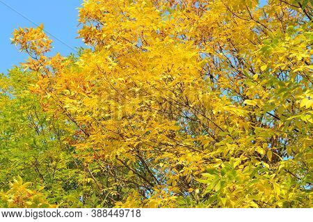 Very Beautiful Autumnal Golden Ash Tree In A Sunny Day