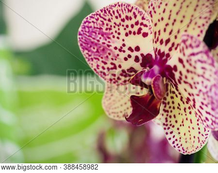 Beautiful Purple Phalaenopsis Orchid Blossom, Flower Closeup. Potted Plants At Home.