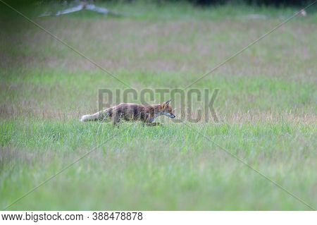 Portrait Of Red Fox Walking On The Meadow Grass