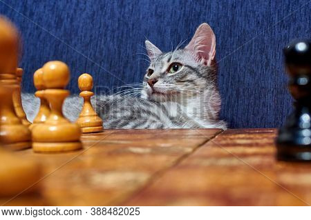 A Wise Cat Looks At The Chess Position. Cat At The Retro Chessboard. Vintage Chess Pieces On The Boa