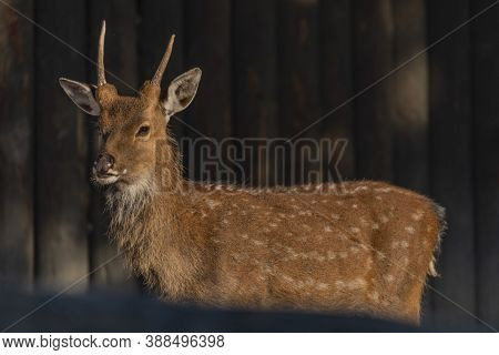 Deer Sika With Orange Light In Summer Sunny Morning