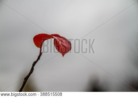 Last Autumn Red Leaves On A Tree Branch. Late Autumn. Gray Sky. Background.