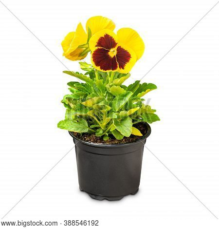 Viola Wittrockiana Flower Growing In Pots On White Background