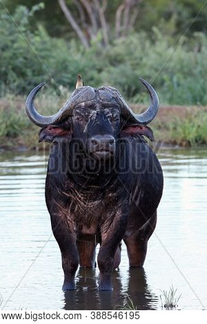 The African Buffalo Or Cape Buffalo (syncerus Caffer) Old Bull Standing In A Pond With Ragged Ears.