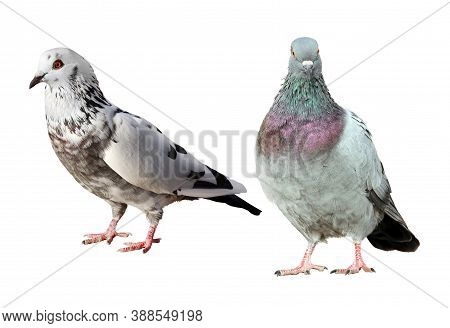 Two Beautiful Common Pigeons Isolated On A White Background.