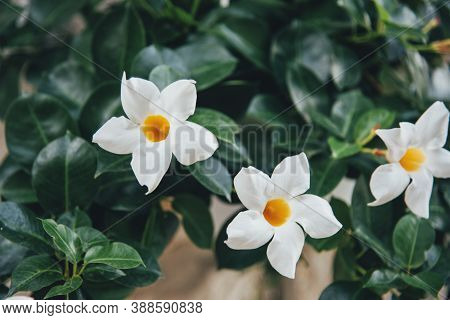 Nyctanthes Arbor-tristis, The Night-flowering Jasmine White Flowers. Selective Focus