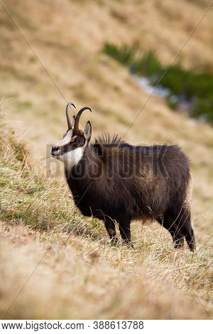 Tatra Chamois Standing In Autumn Mountains In Vertical Composition.