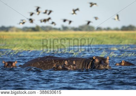 Hippo Family Standing In Blue Waters Of Chobe River Looking Alert In Botswana