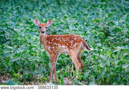 White-tailed Fawn In A Soybean Field During Summer, Selective Focus, Background Blur, Foreground Blu