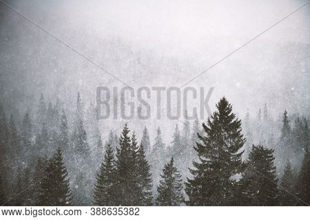 Snowstorm in winter mountains. Snowy spruce and pine forest. Landscape photography